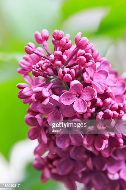 Makro Nahaufnahme des purple Syringa lila Blumen, shallow DOF