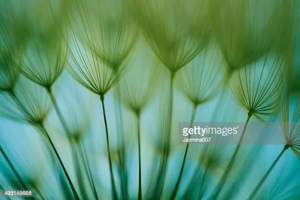 マクロタンポポの種子