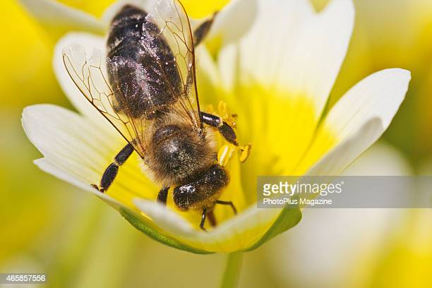 Macro detail of a honey bee gathering nectar from a yellow flower taken on May 21 2014