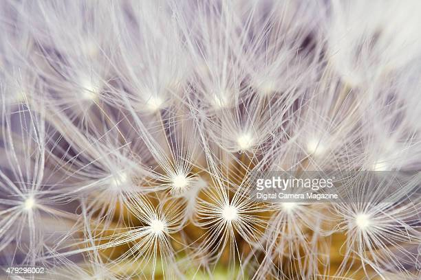 Macro detail of the seed head of a common dandelion taken on May 13 2014