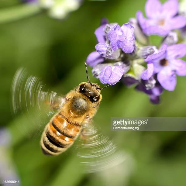 Makro-Apis (API mellifera), Landung auf lila Blumen