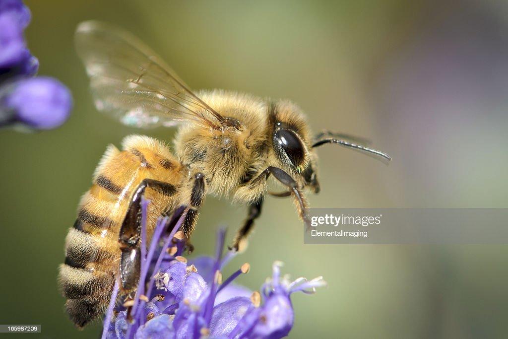 Macro Abelha de mel (Apis mellifera) lançamento de uma flor roxa : Foto de stock