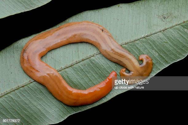 Macro image of a predatory land planarian / hammerhead worm, Bipalium sp.