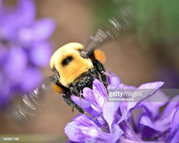 Macro Insect American Bumble Bee (Bombus pensylvanicus) in Flight
