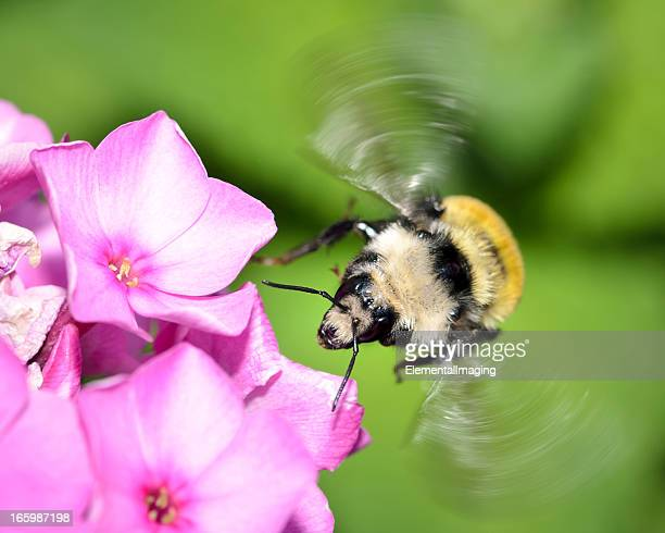 Macro Insect American Bumble Bee (Bombus pensylvanicus) in Flight