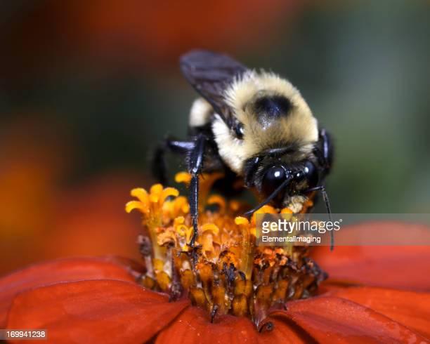 Macro Insect American Bumble Bee (Bombus pensylvanicus) Pollinating Flower
