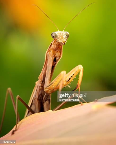 Macro Insect Brown European Praying Mantis (Mantis religiosa) on Leaf