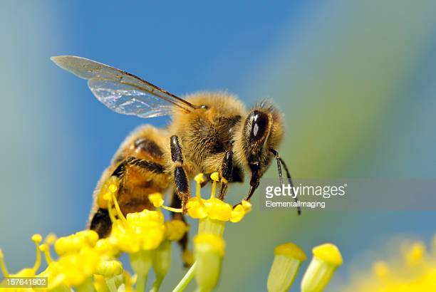 Macro Insect Honey Bee (Apis mellifera) on Yellow Flowers
