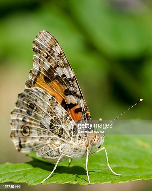 Macro Insect Painted Lady Butterfly (Vanessa cardui)