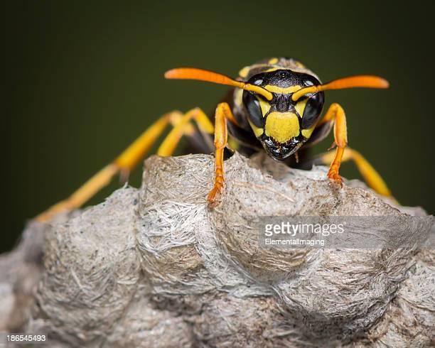 Macro de insectos chaqueta amarilla en el nido de avispas
