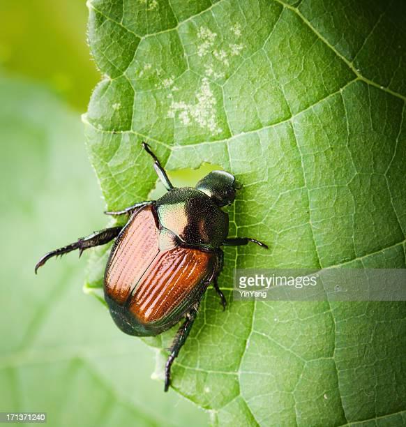 Macro of a Japanese Beetle Eating Leaves