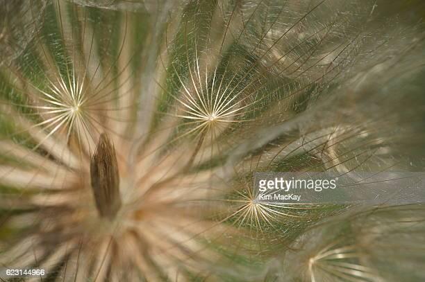 Macro of a Western Salsify seed head