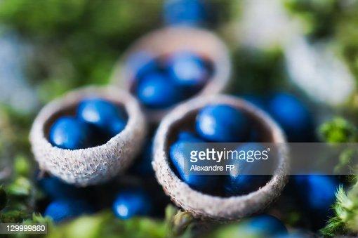 Macro of berries in acorn shells on moss
