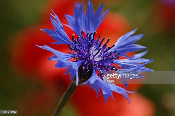 macro di blu fiordaliso