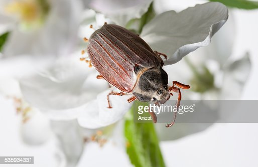 Macro of cockchafer in orchard : Stock Photo