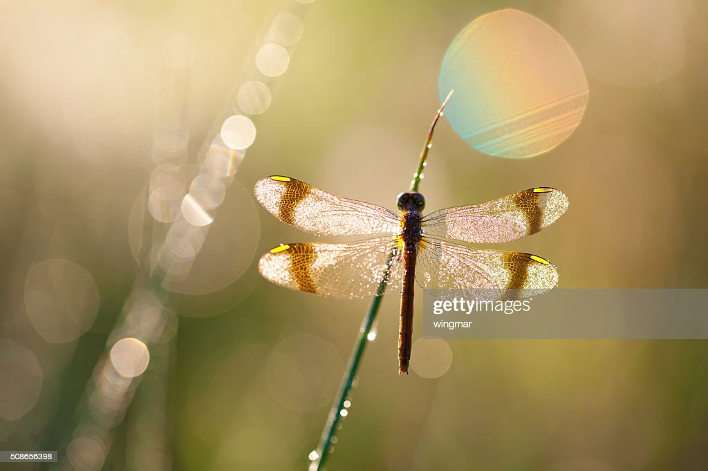 macro of dragon fly with soft focus on a meadow : Stock Photo