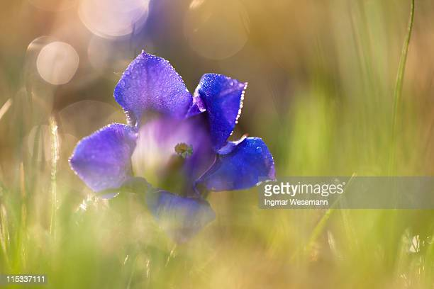 macro of gentian with soft focus and
