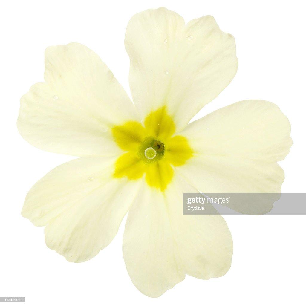 Macro Of Primrose Flower Isolated On White