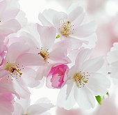 Macro of sour Cherry tree pink & white flowers