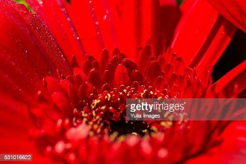Macro of the center of a vivid red Gerbera daisy