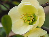 Spring flowers series: Macro of white Japanese quince.