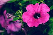 macro petunia hybrida blossom in garden