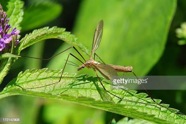 Macro photo of a crane fly on a leaf