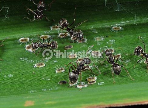 Macro Foto De Grupo De Hormigas De Jardín Negro Con Cochinillas En ...