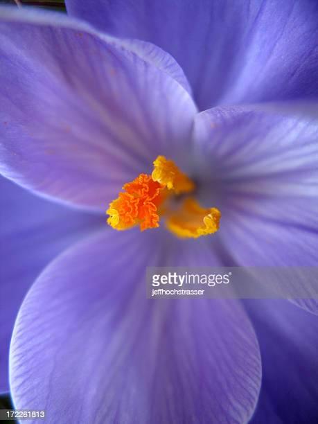 Púrpura azafrán Macro