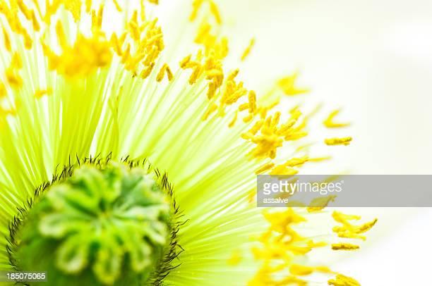 Tiro macro de flor de Papoila