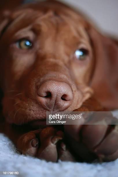 macro, puppy, vizsla, gorgeous, beautiful, dog