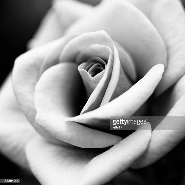 macro rose flower
