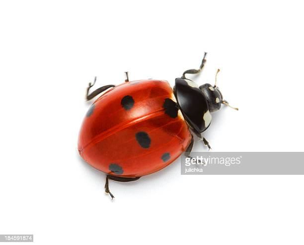 Macro shot of a red ladybug with black spots