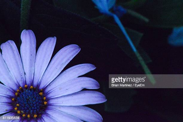 Macro shot of aster flower