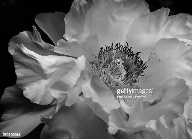 Macro Shot Of Camellia Flower