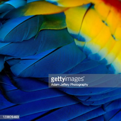 Macro shot of colorful scarlet macaw feathers