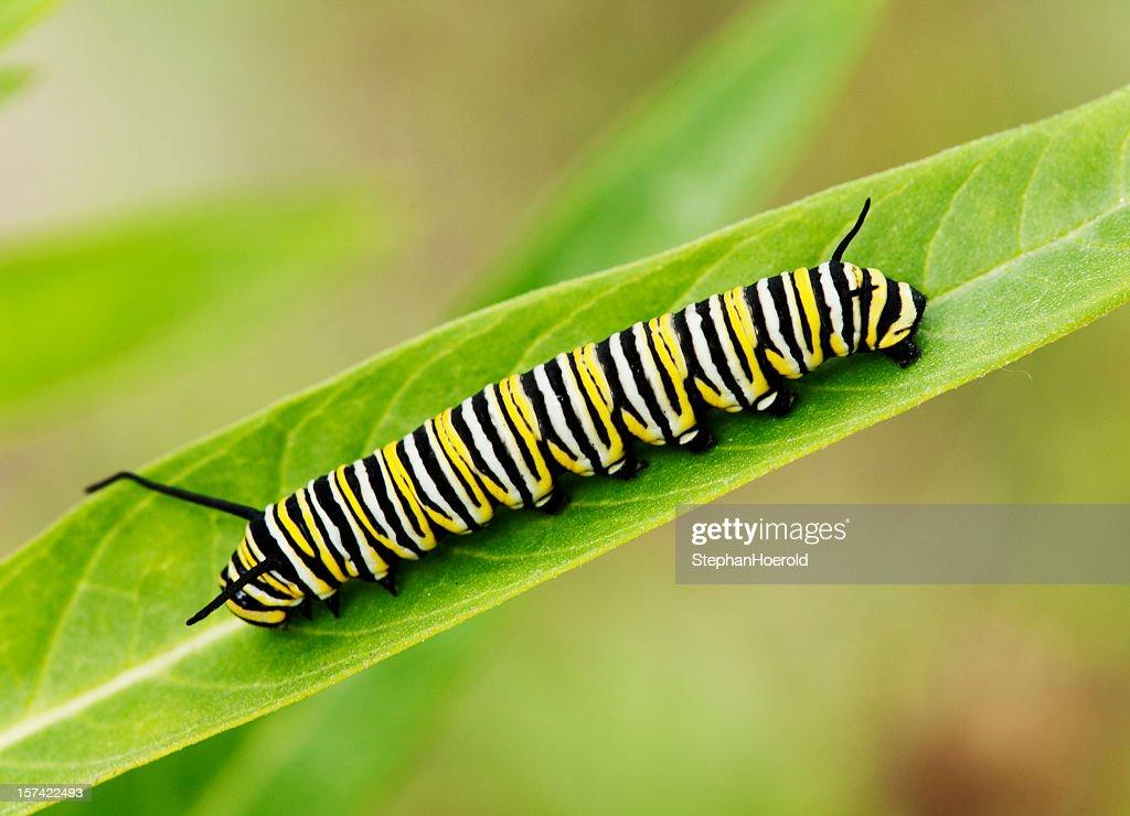 Macro shot of Monarch caterpillar on a milkweed leaf