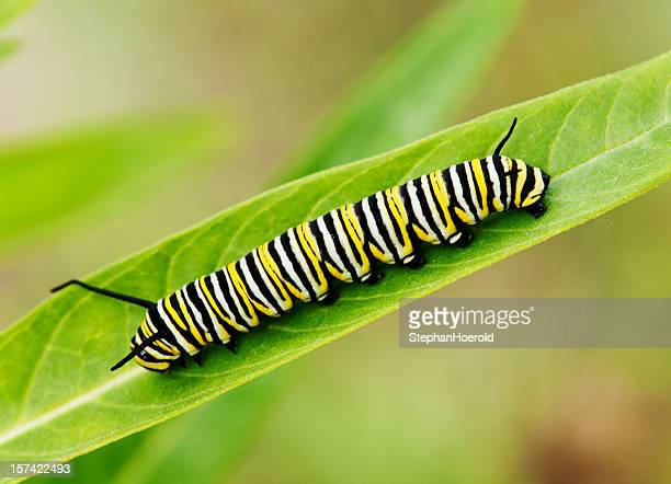 Macro shot of Monarch caterpillar on a milkweed leaf