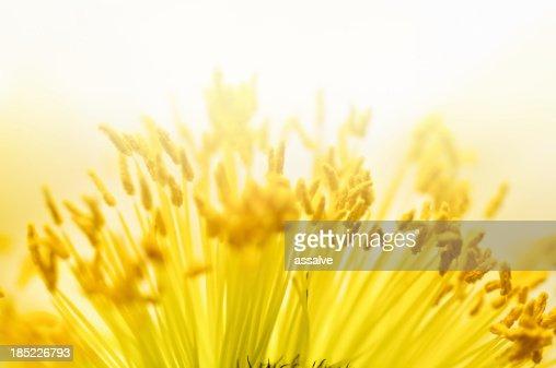 macro shot of pollen