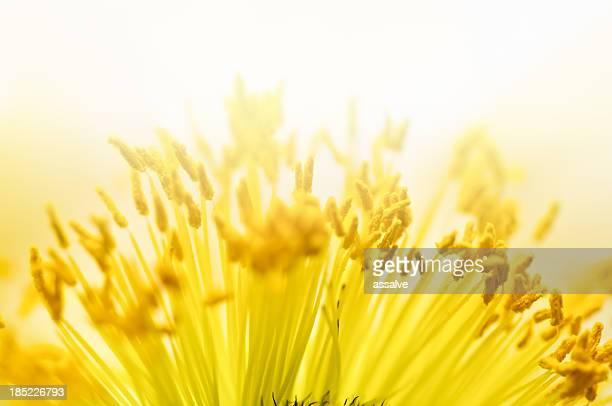 macro shot de pollen