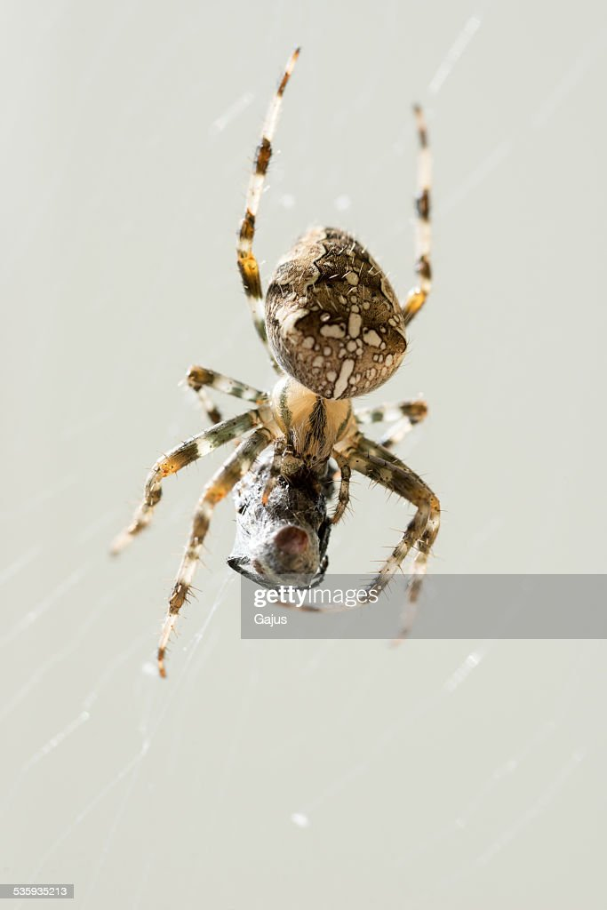 Macro Shot of Spider with Caught Prey : Stock Photo