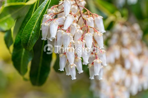 Un Coup De Macro Des Fleurs Blanches En Forme De Cloche Dun Pieris