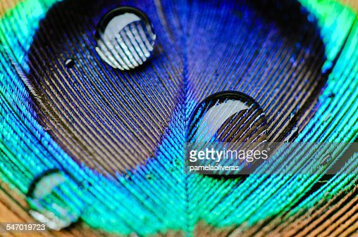 Macro shot of water drops on a peacock feather
