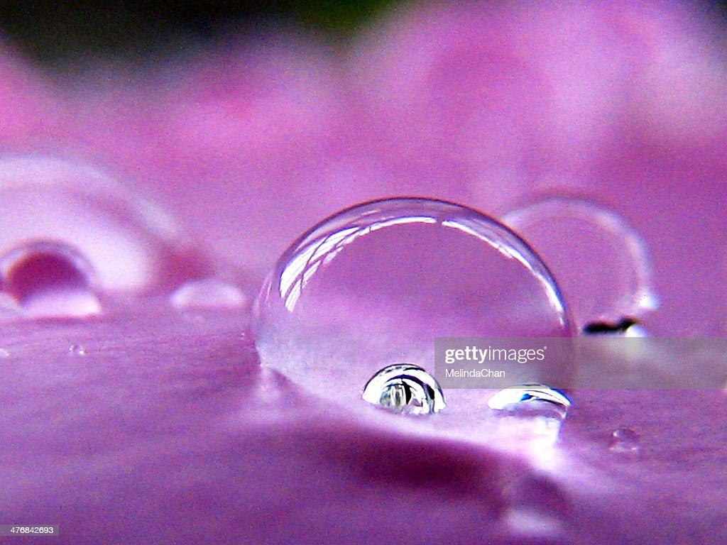 Macro shot of water Drops on purple Peony petal