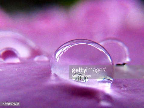 Macro shot of water Drops on purple Peony petal