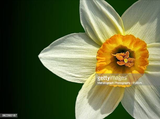 Macro Shot Of White Daffodil Flower