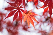 Macro texture of vivid colored Japanese Autumn Maple leaves with blurred background in horizontal frame