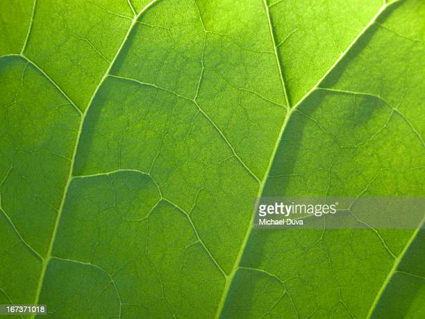 macro view of a leaf's veins