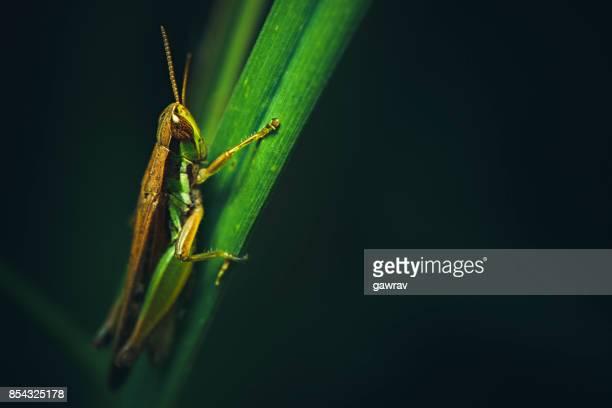Macro-photography of grasshopper sitting on grass blade.