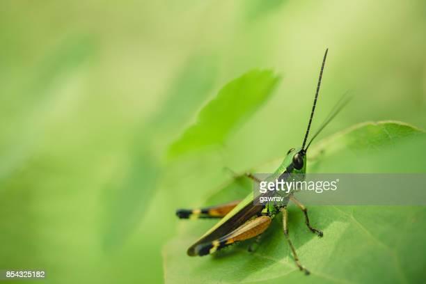 Macro-photography of grasshopper sitting on green leaf.